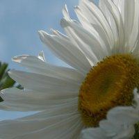 Белая астра :: Виктория Стукалина