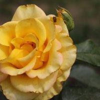 Сонечна квітка. :: Ольга)