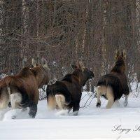 Семейство лосей убегает от фотоохотника :: Сергей Стреляный