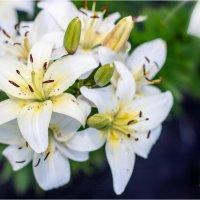 цветы :: Анна Тяблина