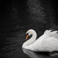 Swan :: Lena Stratan