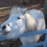 Белый пони :: Нина Бутко