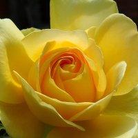 Роза жёлтая :: Swetlana V