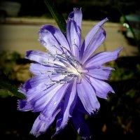 Цветок цикория :: Андрей Заломленков