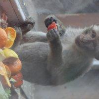 Мавпа з фруктами за шклом :: Halyna Hnativ