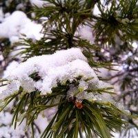 Снег на сосновом дереве) :: Nastja Evstigneeva