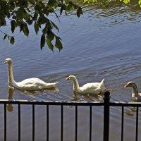 Лебединое семейство :: Евгения Мартынова