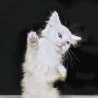 *Crazy Cat* :: Сергей Смоляков