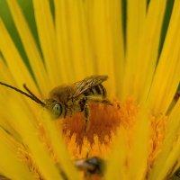 пчелка :: олеся тронько