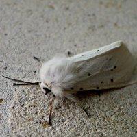 White butterfly :: Алексей Сухоставский