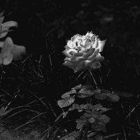 Чёрная роза. :: Яков Реймер