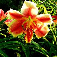 лилия   цветет... :: неля  тулузова