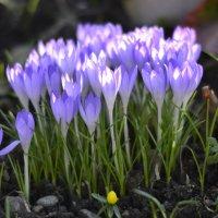 весенние цветы :: Надежда Трофимова