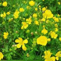 Лютики тоже цветы :: Виктор Елисеев