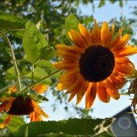 Подсолнух – в солнце яркое влюблён. :: Anna Gornostayeva