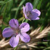 Полевые цветы. :: Anatol Livtsov