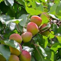 Про абрикосы... :: Михаил Болдырев