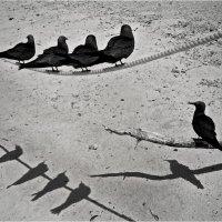 Остров черных чаек. Австралия. :: Владимир Сидоркин