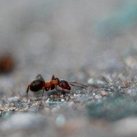 муравей :: Олька Никулочкина