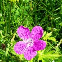 Лесной цветок :: Виктор Елисеев