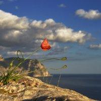 Горный мак на ветру в лучах заката :: Сергей Афонин