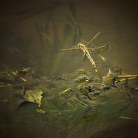 водопой у стрекозы :: Марта
