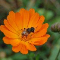 Пчелка :: Ann