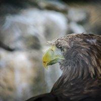 Орел степной :: Михаил Кронор