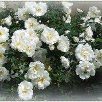 Белые россыпи цветов :: Вера