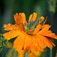 В цветке сидел кузнечик :: Сергей Стреляный