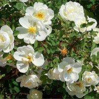 Шиповника снежные розы :: Фотогруппа Весна.