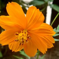Оранжевая космея :: Нина Корешкова