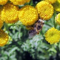 Пчёлка на пижме . :: Мила Бовкун