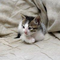 Уличный бродяга-из серии Кошки очарование мое! :: Shmual Hava Retro