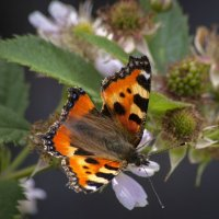 Бабочка и ежевика :: Евгений Лимонтов