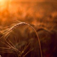 Огненный закат в поле. :: Алена Тхорук