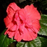 Моя китайская роза :: Татьяна Пальчикова