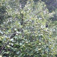 Кошмар дачника - большой урожай яблок! :: Galina194701