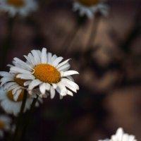 На ромашковом поле :: Кристиана Моисеева