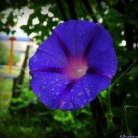 Ипомея цветёт :: Андрей Заломленков