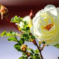 Белые розы :: Владимир Изюмов