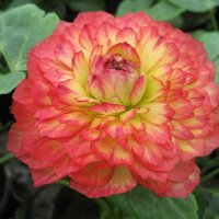 Ranunculus / Ранункулюс :: laana laadas