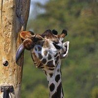 Жираф и камера наблюдения. Пражский зоопарк. :: Юрий Воронов