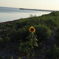 одинокий подсолнух на берегу Таманского залива :: Нади часоК
