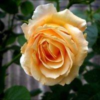 Желтая роза :: Татьяна Пальчикова