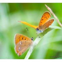 Бабочки :: Вера Ульянова