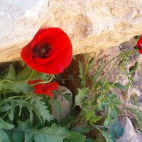 Маки среди камней :: Герович Лилия