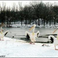 Зимние забавы пеликанов :: Нина Бутко