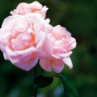 Дикая алая роза :: Zifa Dimitrieva