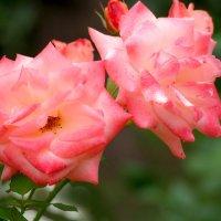 Розовые розы -  как масляные украшения на торте :: Zifa Dimitrieva